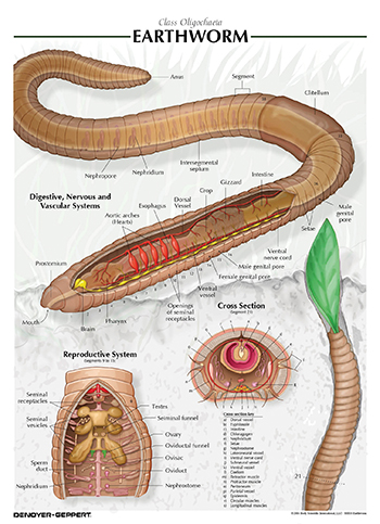 coelomic fuid of earthworm effects The fluid inside the coelom is known as coelomic fluid true coelom reduced & cavity filled with blood found (nematomorphs or horsehair worms) gastrotricha.
