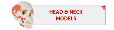 Head & Neck Models
