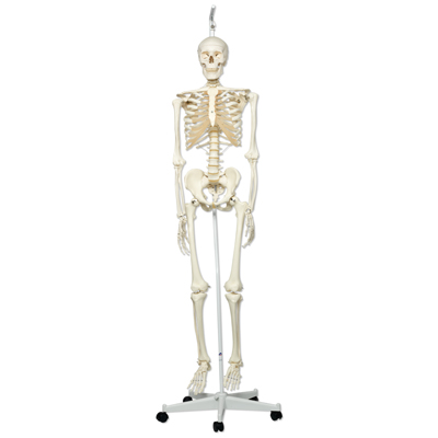 Stan Skeleton, Human Skeleton Model - Hanging 5 Foot Roller Stand
