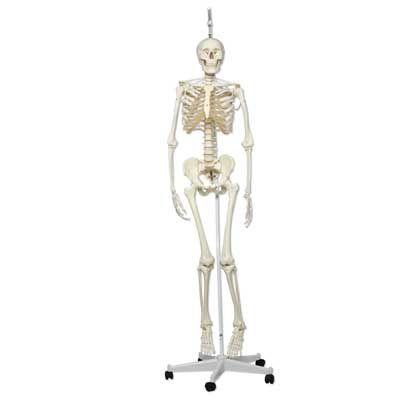 Frank The Functional Human Skeleton Flexiblerealistic Movement