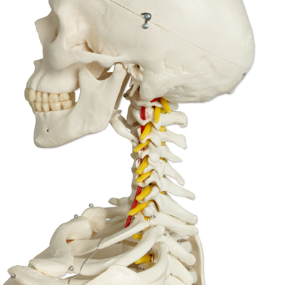 """fred"""" the flexible human skeleton model 