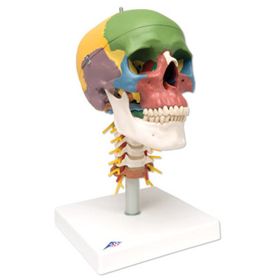 Didactic Human Skull Model on Cervical Spine (4-Part)