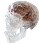 Transparent Classic Human Skull Model (3-Part)