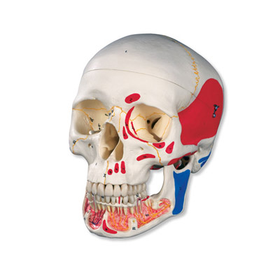 Classic Human Skull Model with Opened Lower Jaw (Painted, 3-Part)