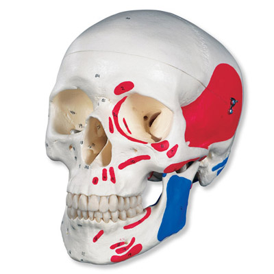 Classic Human Skull Model (Painted, 3-Part)