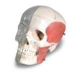 3B Scientific System Skull (Transparent and Bony, 8-Part)