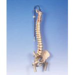LifeTime Flexible Spine with Femur Heads