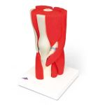 Knee Joint with Removable Muscles
