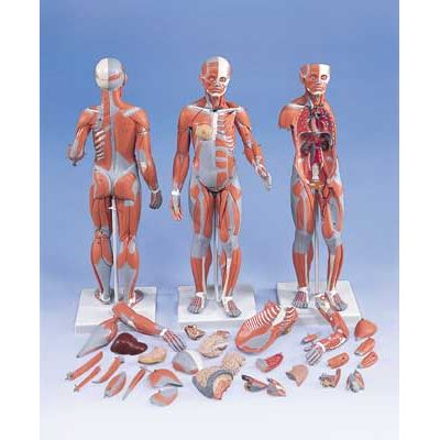 Complete Dual Muscle Figure With Internal Organs 12 Life Size