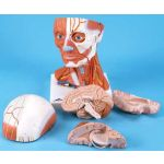 Head and Neck Musculature (3/4 Life-Size, 5-Part)
