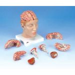 Deluxe Brain with Arteries on Base of Head (10-Part)