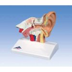 Desktop Ear Model (1.5X Life-Size)