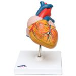 Classic Student-Size Heart (2-Part)