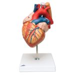 Heart with Esophagus & Trachea (2X Life-Size, 5-Part)