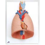 Lung Model with Larynx (7-Part)