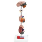 Hypertension Model (7-Part)