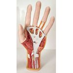 Internal Hand Structure Model (3-Part)