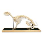 Hare Skeleton in Glass Case