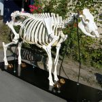 Cow Skeleton on Wooden Base