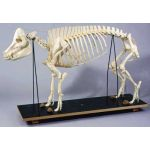Pig Skeleton on Wooden Base