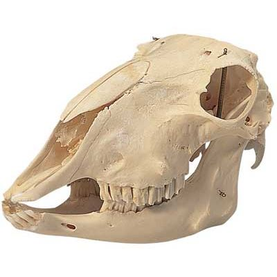 Sheep Skull T30018 Made By American 3b Scientific Cpr Savers And