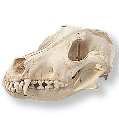 dog skull t30021 made by american 3b scientific cpr