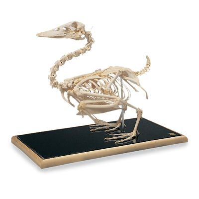 Duck Skeleton T30035 Made By American 3b Scientific