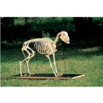 Sheep Skeleton on Wooden Base