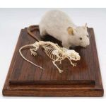 Mouse Skeleton & Stuffed Mouse