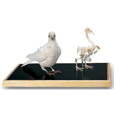 Car First Aid Kit >> Dove Skeleton & Stuffed Dove | T31005 made by American 3B ...
