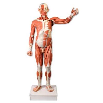 male muscular anatomy model (life-size, 37-part) | va01 made by, Muscles