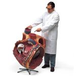 Worlds Largest Heart (Giant Heart, 8X Life-Size0