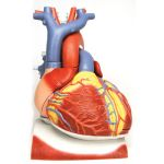 Heart on Diaphragm (3X Life-Size, 10-Part)
