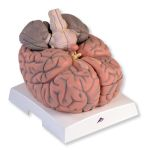 Giant Brain (2.5X Life-Size, 14-Part)