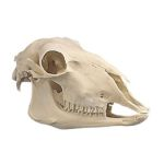 Sheep Skull (Ovis Aries)