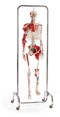 Orthopedic Skeleton