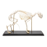Cat Skeleton on Wooden Base
