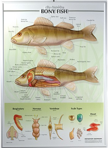 Fish Raised Relief Chart