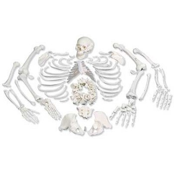 Disarticulated Full Human Skeleton (3-Part Skull)