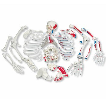 Disarticulated Full Human Skeleton with Painted Muscles (3-Part Skull)