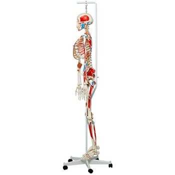 Sam the Super Skeleton with Hanging Roller Stand