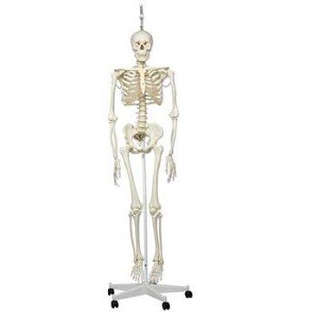 """Phil"" the Physiological Human Skeleton Model (Flexible, on Hanging Roller Stand)"