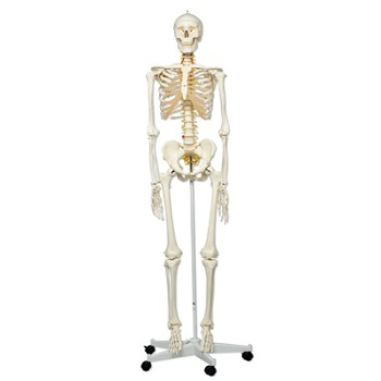 """Fred"" the Flexible Human Skeleton Model"