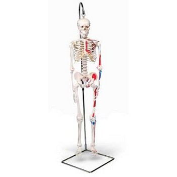 Mini Skeleton with Painted Muscles (Hanging)