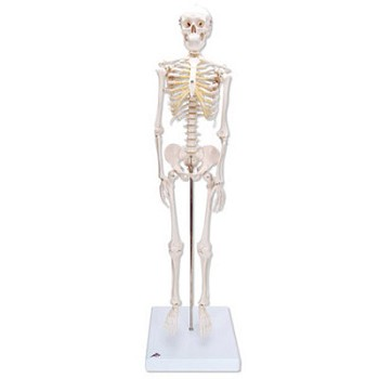 """Shorty"" the Mini Skeleton"