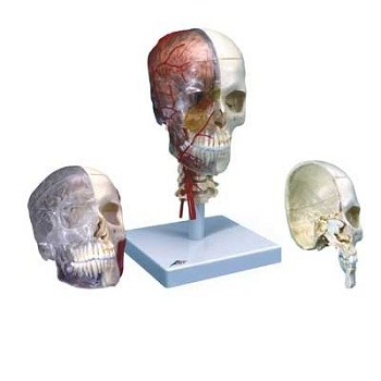 3B Scientific System Skull (Bony Skull Half, 4-Part)
