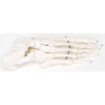 Foot Skeleton Mounted on Wire (Right)