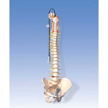 Deluxe Flexible Spine with Brain Stem & Opened Sacrum