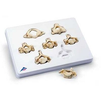Set of 7 Cervical Vertebrae