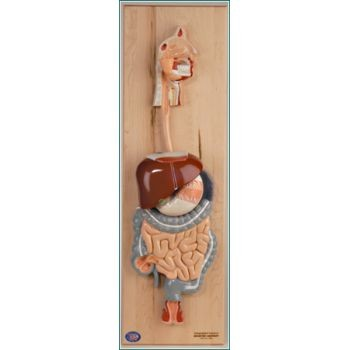 Digestive System (Life-Size, 5 Parts)